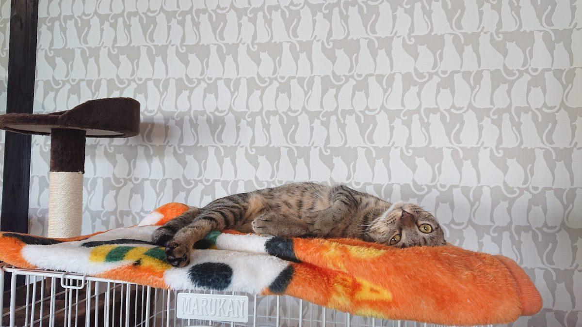 保護猫清正