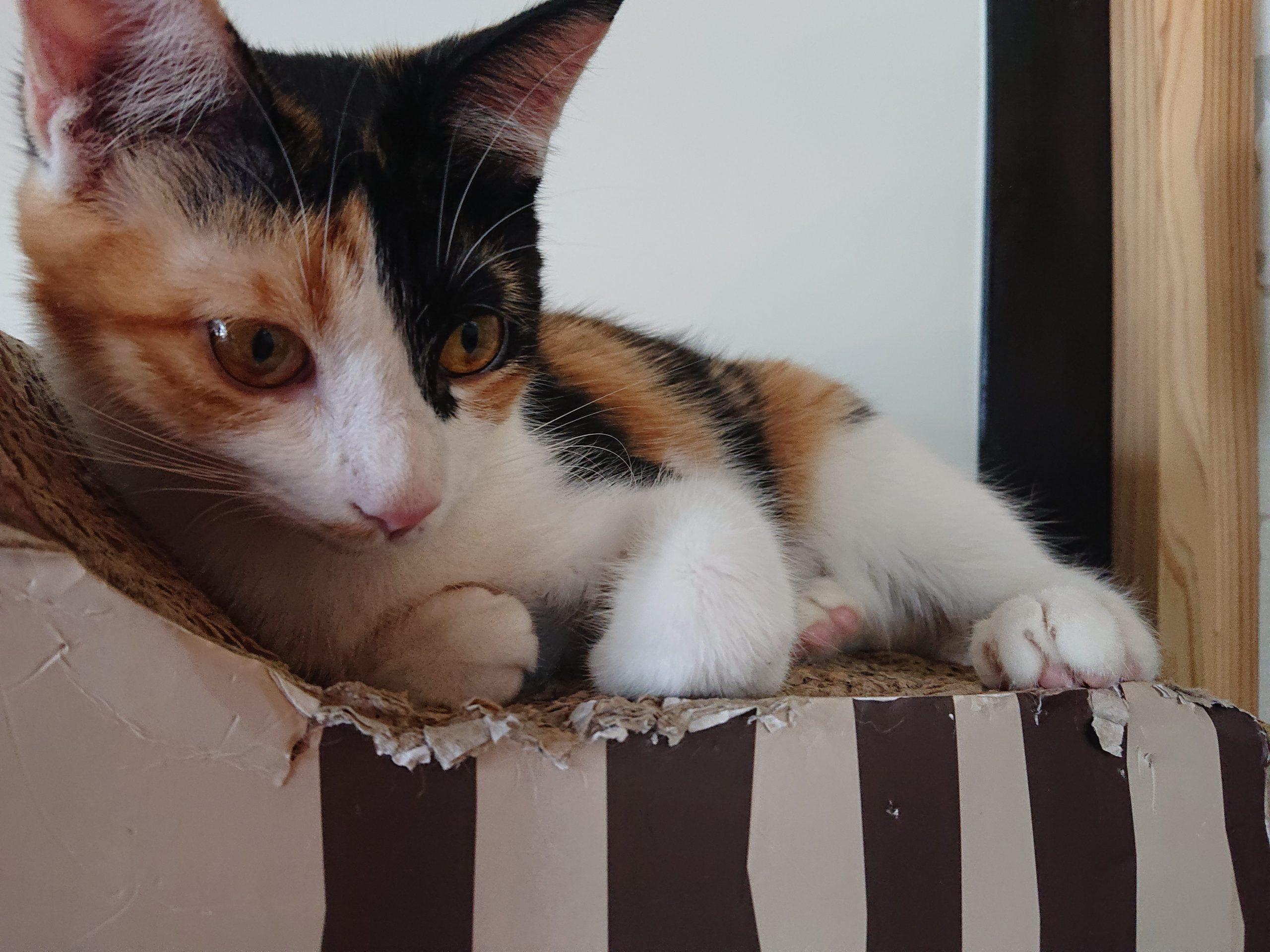 あざとかわいい保護猫