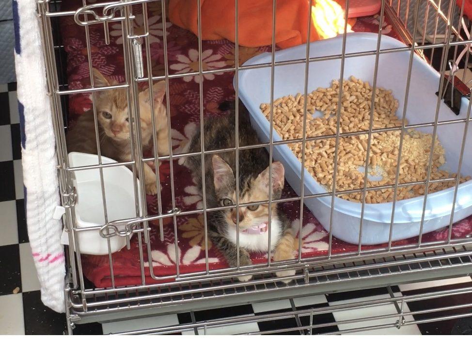 熊本県動物愛護センター 保護されている子猫