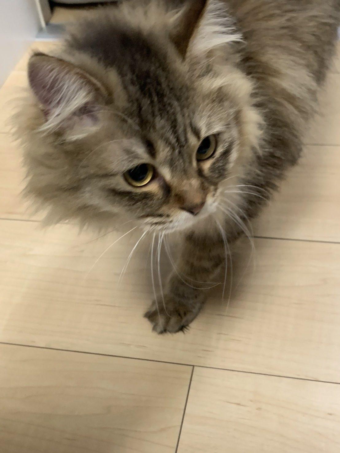 トライアル初日の元保護猫もふ(里親さんのお宅にて)