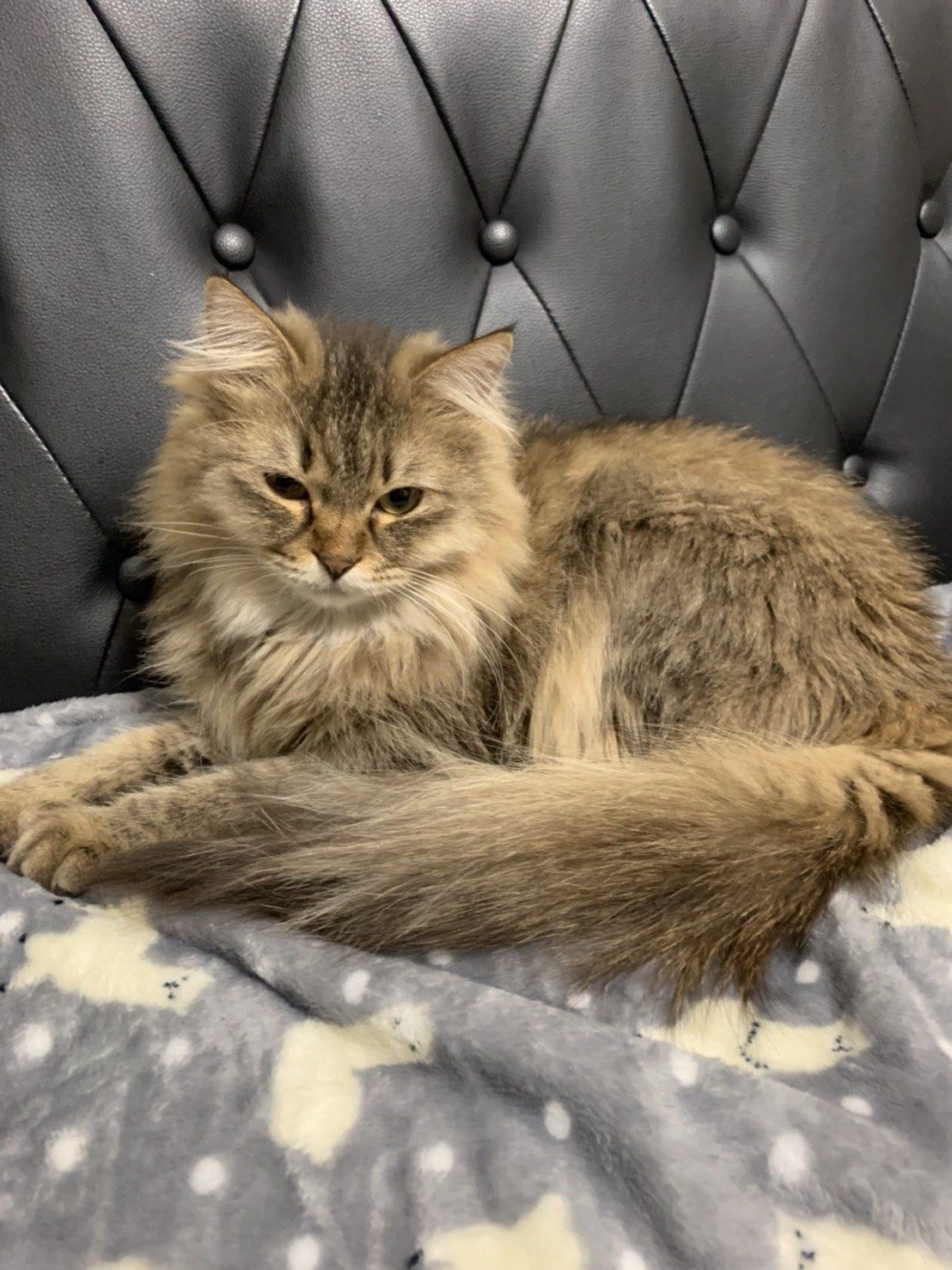 ソファが似合う元保護猫もふ(里親さんのお宅にて)