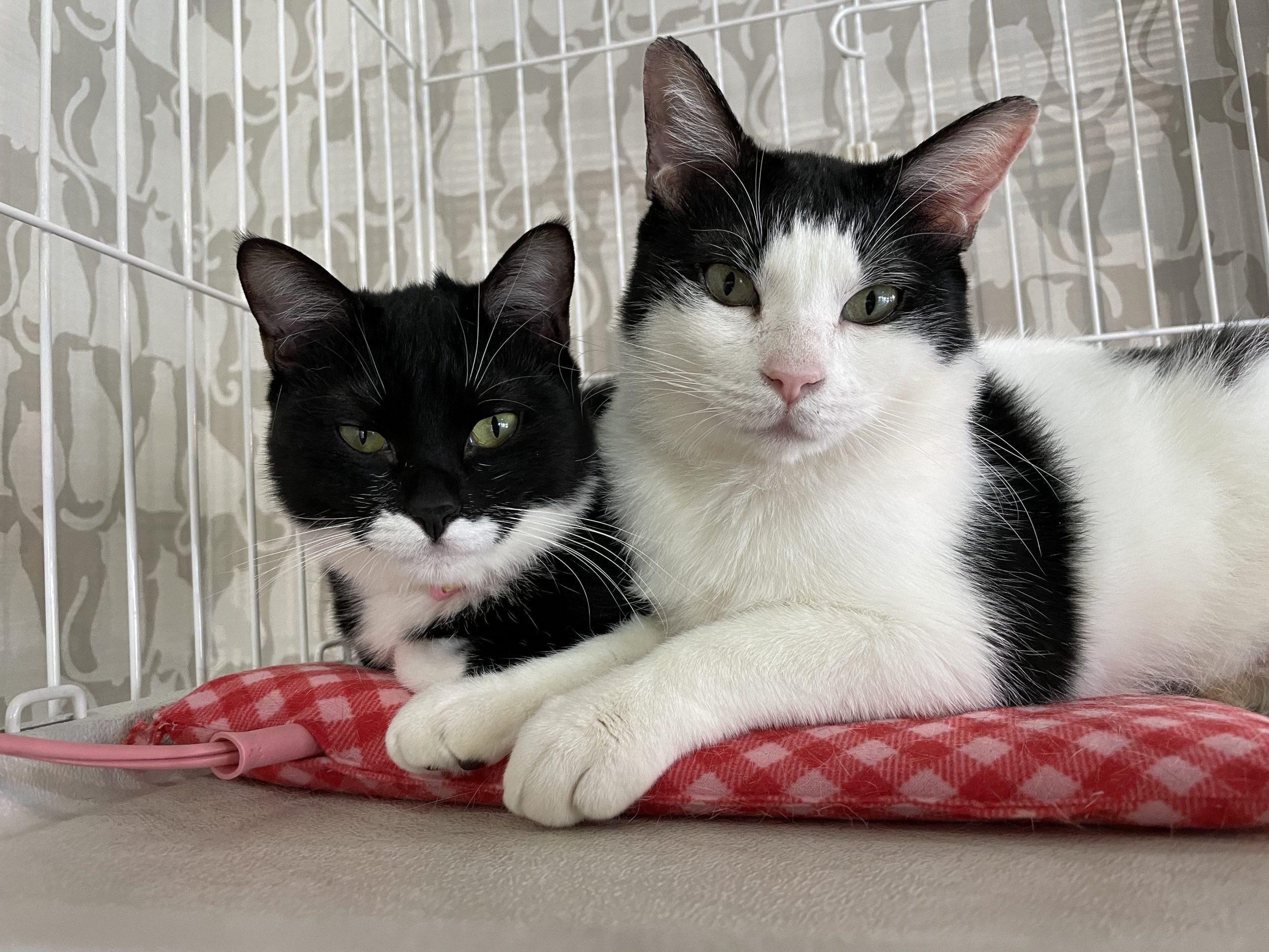 保護猫(白黒ねこ)