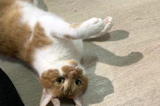 保護猫(茶白)