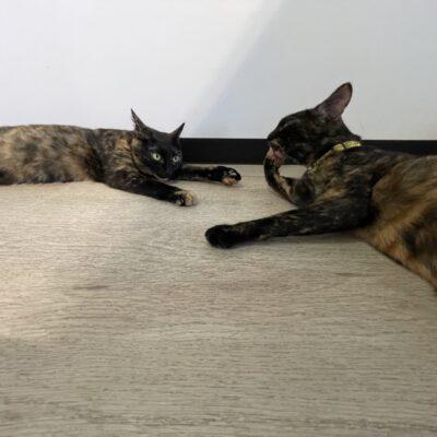 サビ猫の姉妹 ラパンとココア